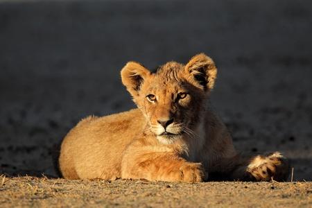 African lion cub - Panthera leo - in early morning light, Kalahari desert, South Africa
