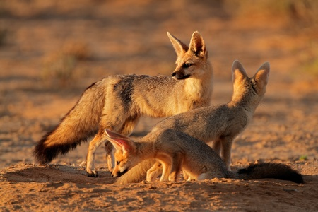 Cape foxes - Vulpes chama - at their den in early morning light, (Kalahari desert, South Africa