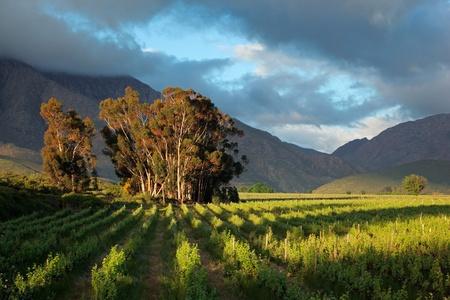 西ケープ州、南アフリカ共和国の山々 を背景に木と緑豊かなブドウ園の風景