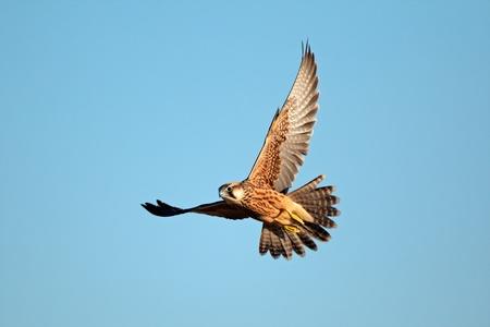 ラナーハヤブサ - ファルコ biarmicus - 青空、南アフリカ共和国に対して飛行中