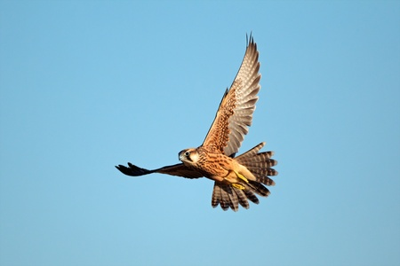 Lanner falcon - Falco biarmicus - in flight against a blue sky, South Africa