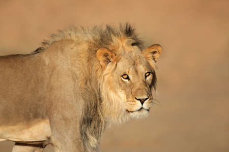 big5: Portrait of a male African lion - Panthera leo, South Africa