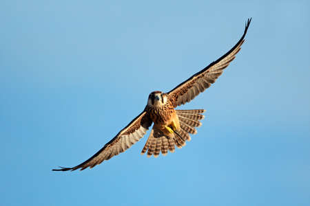 Lanner falcon - Falco biarmicus - in flight against a blue sky, South Africa Imagens - 18224678