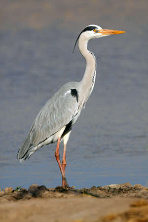 Grey heron - Ardea cinerea - standing in natural habitat, South Africa Stock Photo - 18520042