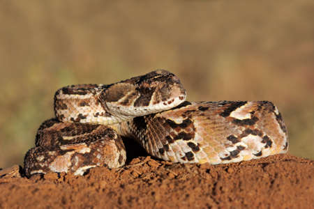 venom: Close-up of a curled puff adder - Bitis arietans - snake ready to strike