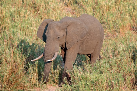 big5: Large African bull elephant - Loxodonta africana, Kruger National Park, South Africa