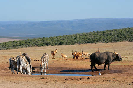 water buffalo: Cape buffalo, plains zebras and red hartebeest gathering at a waterhole, South Africa Stock Photo