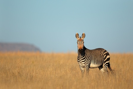 케이프 산 얼룩말 - 에쿠스 얼룩말, 산 얼룩말 국립 공원, 남아프리카 공화국 스톡 콘텐츠