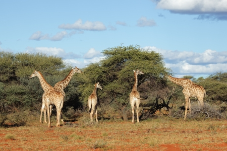 Giraffes - Giraffa camelopardalis - feeding on an Acacia tree, South Africa photo