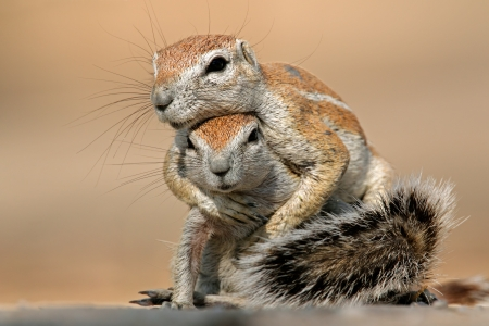 Twee grondeekhoorns - Xerus inaurus - spelen, Kalahari woestijn, Zuid-Afrika Stockfoto