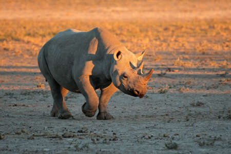 Een zwarte neushoorn - Diceros bicornis - in de late namiddag licht, Zuid-Afrika