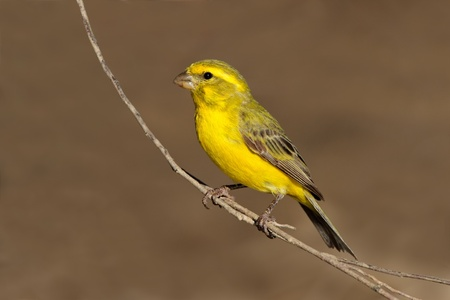 Yellow canary - Serinus mozambicus - perched on a branch, Kalahari, South Africa Archivio Fotografico