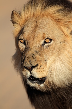 Portrait of a big male African lion - Panthera leo, South Africa