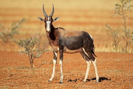 Bedreigde Bontebok antilope - Damaliscus pygargus dorcas, Zuid-Afrika