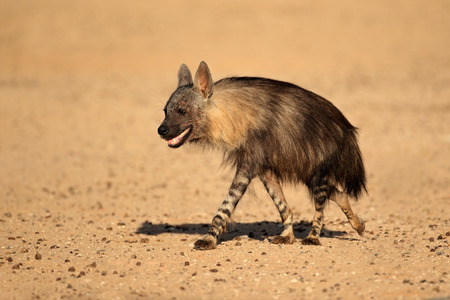 Brown hyena - Hyaena brunnea, Kalahari desert, South Africa