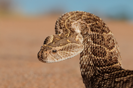 Portrait of a puff adder (Bitis arietans) in defensive position, southern Africa