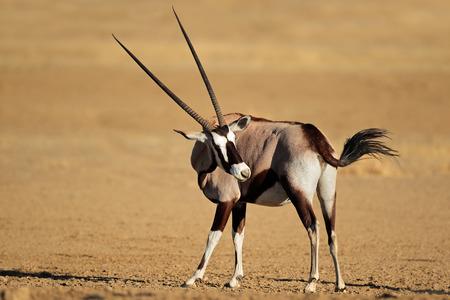 animales del desierto: Gemsbok antílope Oryx gazella -, desierto de Kalahari, Sudáfrica Foto de archivo