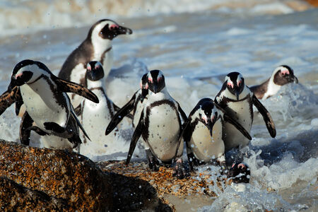 African penguins - Spheniscus demersus - in shallow water, Western Cape, South Africa photo