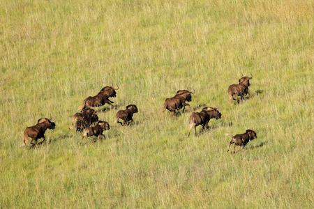 aerial animal: Aerial view of black wildebeest - Connochaetes gnou - running in grassland, South Africa