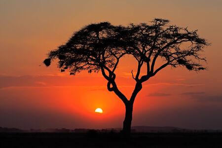 Sonnenuntergang mit silhouetted afrikanischen Akazie, Amboseli Nationalpark, Kenia