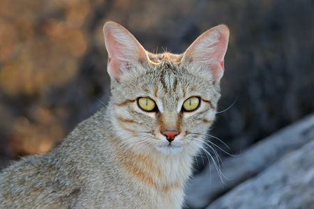Retrato de un gato africano salvaje - Felis silvestris lybica, desierto de Kalahari, Sudáfrica Foto de archivo