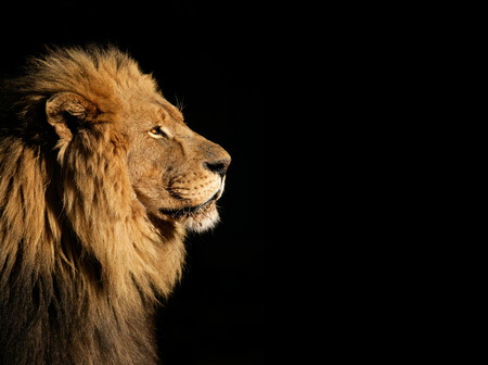 Side portrait of a big male African lion (Panthera leo) against a black background, South Africa Zdjęcie Seryjne - 35063984