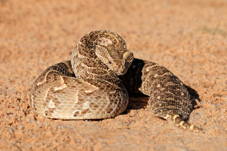 A puff adder - Bitis arietans - in defensive position, southern Africa Фото со стока
