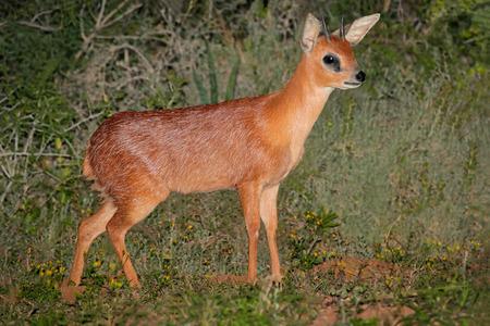 Eine seltene Cape grysbok Antilope (Raphicerus melanotis), Südafrika Standard-Bild - 39925015