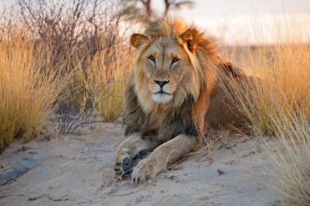 Big male African lion Panthera leo in early morning light Kalahari desert South Africa