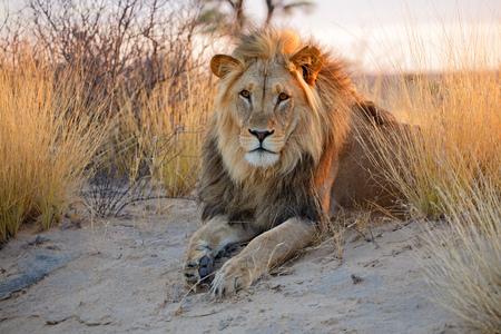 Grote mannelijke Afrikaanse leeuw Panthera leo in de vroege ochtend licht Kalahari woestijn van Zuid-Afrika
