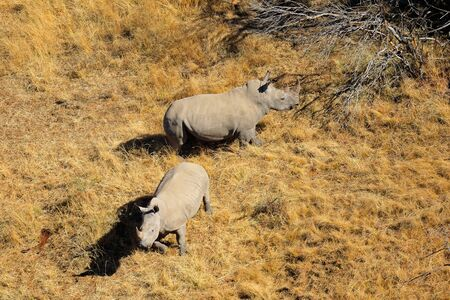Aerial view of a pair of white rhinoceros Ceratotherium simum in grassland South Africa