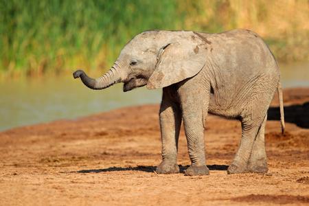 Een schattige baby Afrikaanse olifant Loxodonta africana Addo Elephant National Park Zuid-Afrika