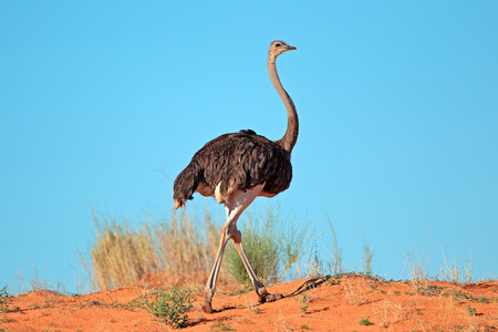 Female Ostrich Struthio camelus on red sand dune, Kalahari desert, South Africa