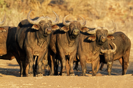African or Cape buffaloes Syncerus caffer, South Africa
