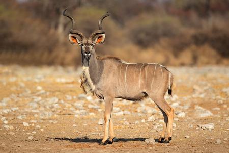 Male Kudu antilope Tragelaphus strepsiceros in habitat naturale, Parco Nazionale Etosha, Namibia
