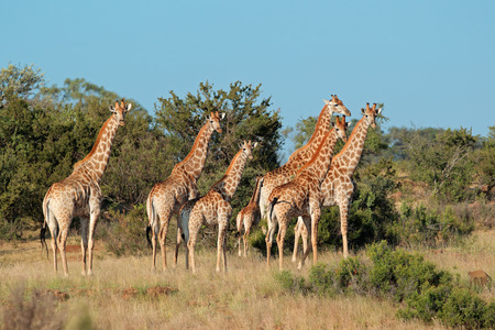 Small herd of giraffes Giraffa camelopardalis in natural habitat, South Africa Standard-Bild