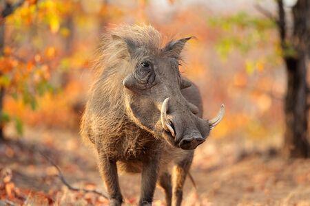 Warthog Phacochoerus africanus in natural habitat, Kruger National Park, South Africa Reklamní fotografie