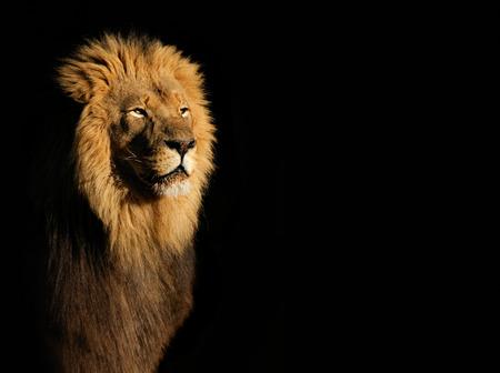 Portret van een grote mannelijke Afrikaanse leeuw Panthera leo tegen een zwarte achtergrond, Zuid-Afrika Stockfoto