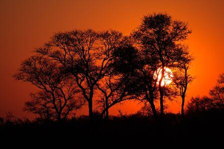 árbol africano de la sabana silueteado en la puesta del sol, África del Sur