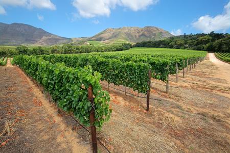 Landschaft von einem Weinberg vor der Kulisse der Berge, Kapstadt, Südafrika