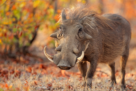 Warthog (Phacochoerus africanus) in natural habitat, Kruger National Park, South Africa Stock Photo - 57653236