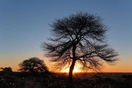 Puesta del sol con el árbol silueteado africana espina, desierto de Kalahari, África del Sur