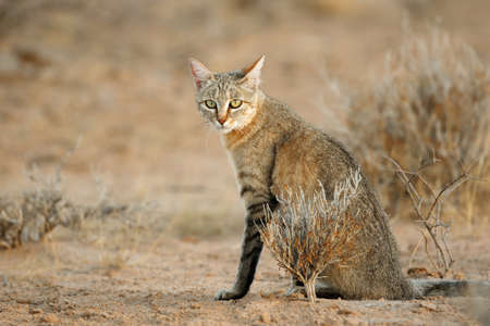 Um, africano, gato selvagem, (Felis, silvestris, lybica), deserto kalahari, áfrica sul Foto de archivo - 72811089