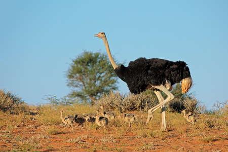 병아리, 칼라 하 리 사막의 사막, 남아 프리 카 공화국와 남성 타조 (Struthio camelus) 스톡 콘텐츠