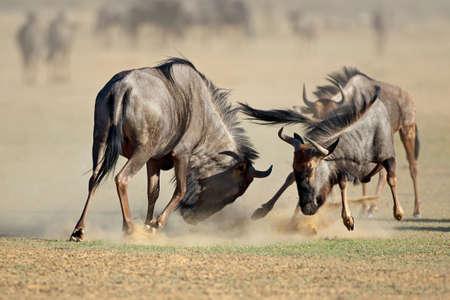 Twee blauwe meest wildebeest taurinus Connochaetes) vechtend voor grondgebied, de woestijn van Kalahari, Zuid-Afrika Stockfoto