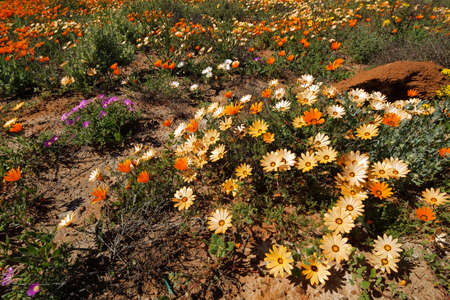 Colorful Namaqualand daisies (Dimorphotheca pluvialis), South Africa Stok Fotoğraf