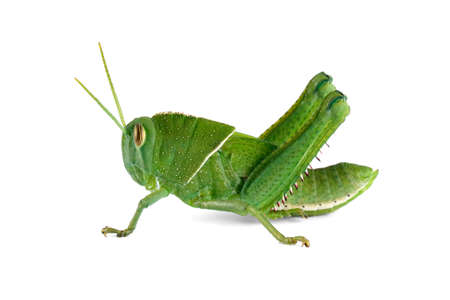 Nymph of a garden locust (Acanthacris ruficornis) on white, South Africa