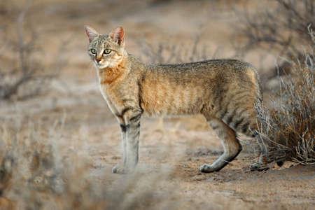 アフリカの野生の猫 (フェリス silvestris lybica)、カラハリ砂漠、南アフリカ