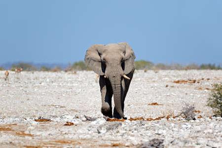 African elephant (Loxodonta africana), walking on open plains, Etosha National Park, Namibia