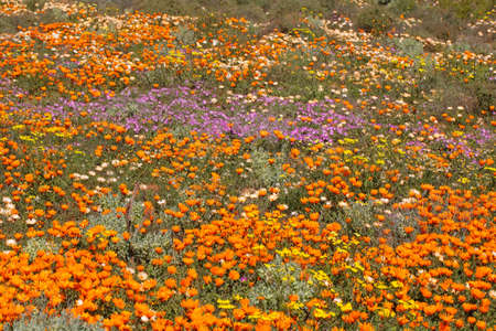 Brightly colored wild flowers, Namaqualand, South Africa